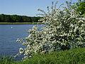 Werdersee Weissdorn.jpg