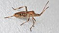 Western Conifer Seed Bug (Leptoglossus occidentalis) - Kitchener, Ontario 02.jpg