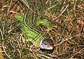 Western Green Lizard (Lacerta bilineata) (29921879557).jpg