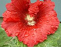 Wet hollyhock.jpg