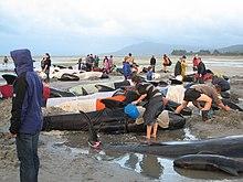 Volontari cercano di preservare la temperatura corporea delle balene spiaggiate a Farewell Spit, in Nuova Zelanda.
