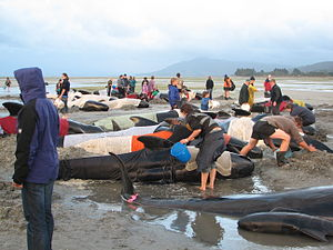 Farewell Spit - Volunteers attempt to keep body temperatures of beached pilot whales from rising at Farewell Spit