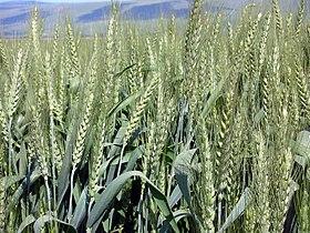 Wheat-haHula-ISRAEL.JPG