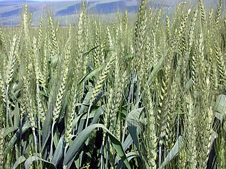 Introduced species - Wheat Triticum introduced worldwide from its place of origin Mesopotamia.