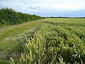 Wheat crop south of Wennington Lodge Farm - geograph.org.uk - 892227.jpg
