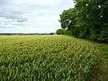 Wheat in West Cambridgeshire 2 - geograph.org.uk - 891082.jpg