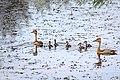 Whistling ducks with juveniles. (37662681384).jpg