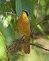 White-browed Robin-Chat (Cossypha heuglini) (22548643196).jpg