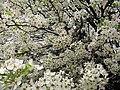 White-pear-flowers-bloom - West Virginia - ForestWander.jpg