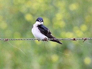 White-rumped swallow - White-rumped swallow perching