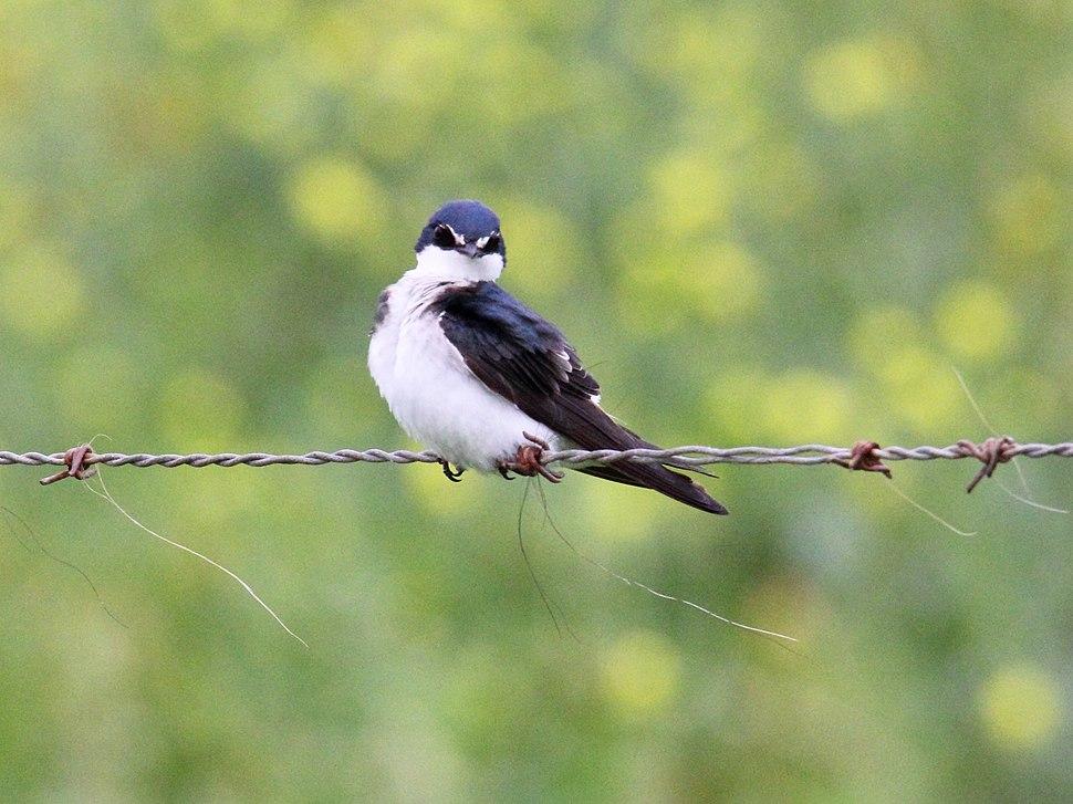White-rumped Swallow (Tachycineta leucorrhoa) (15958781331)