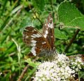 White Admiral. Limenitis camilla - Flickr - gailhampshire.jpg