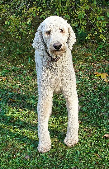 Blue at election time Standard Poodle