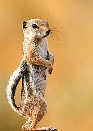 White-tailed antelope squirrel - White-tailed antelope squirrel in Southern Utah