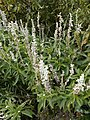 White flowers in Jubileum Park, 2016 Gellerthegy.jpg