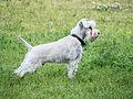 White minischnauzer puppy.jpg