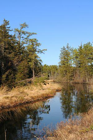 White Cypress - Pitch Pine forest. Pine Barren...