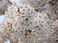 Wihite Blossom. - panoramio.jpg