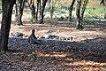 Wild Komodo dragon - Komodo island (16932207198).jpg