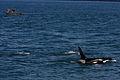 Wild Orca (3724496659).jpg