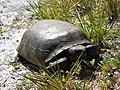 Wild Turtle - panoramio (2).jpg