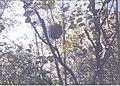 Wild cherimoya fruit.jpg