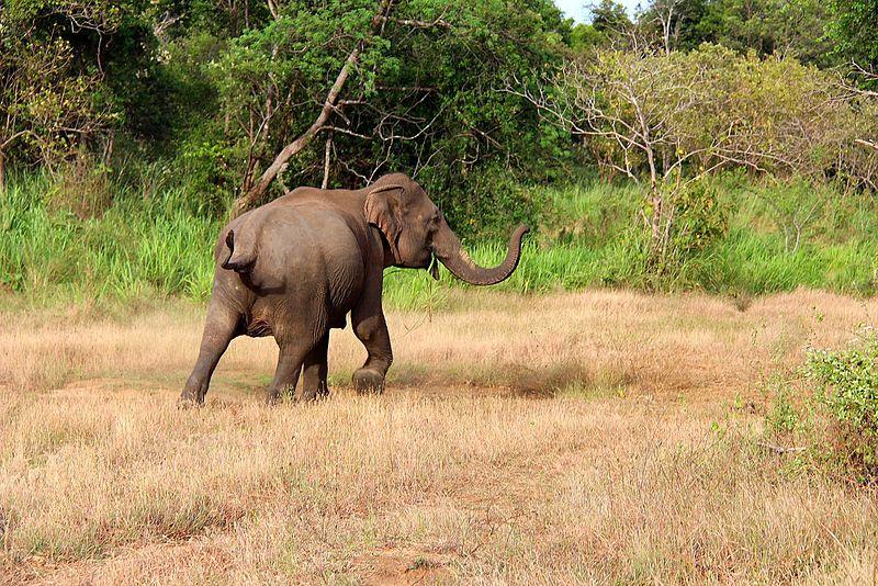 File:Wild elephant in Sri Lanka.JPG