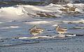 Willet, Tringa semipalmata, Moss Landing and Monterey area, California, USA. (30803415712).jpg