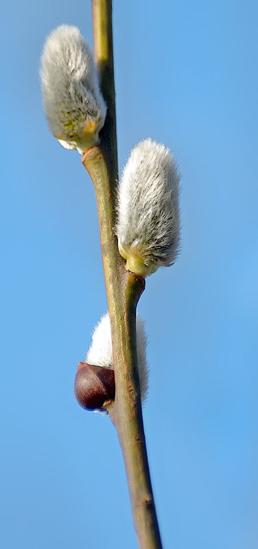 Willow catkin 1 aka