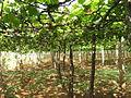 Wineyard at Cumbum.JPG