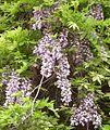 Wisteria brachybotrys flower ja01.jpg