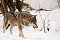 Wolf in snow at Munich zoo.JPG