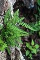 Woodsia ilvensis inat3.jpg
