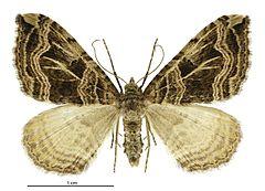 240px xanthorhoe semifissata female