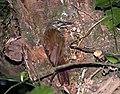 Xiphocolaptes albicollis -Parque Estadual da Serra da Cantareira, Sao Paulo, Brasil-8a.jpg
