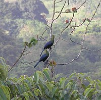 Yellow-billed Turacos in Equatorial Guinea 2006.jpg