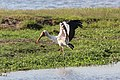 Yellow-billed stork in Chobe National Park.jpg