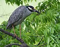 Yellow-crowned Night-Heron (cropping-lightening) (31692581383).jpg