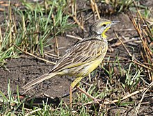 Yellow-throated Longclaw RWD.jpg