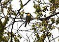 Yellow-throated Warbler (13790016523).jpg