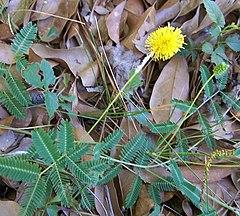240px yellowpuffneptunialutea