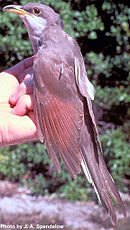 Yellow billed cuckoo fws.jpg