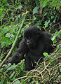 Young mountain gorilla (8155788471).jpg