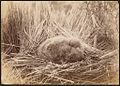 Young mutton bird on nest - Photograph by Bishop Montgomery (14992495424).jpg