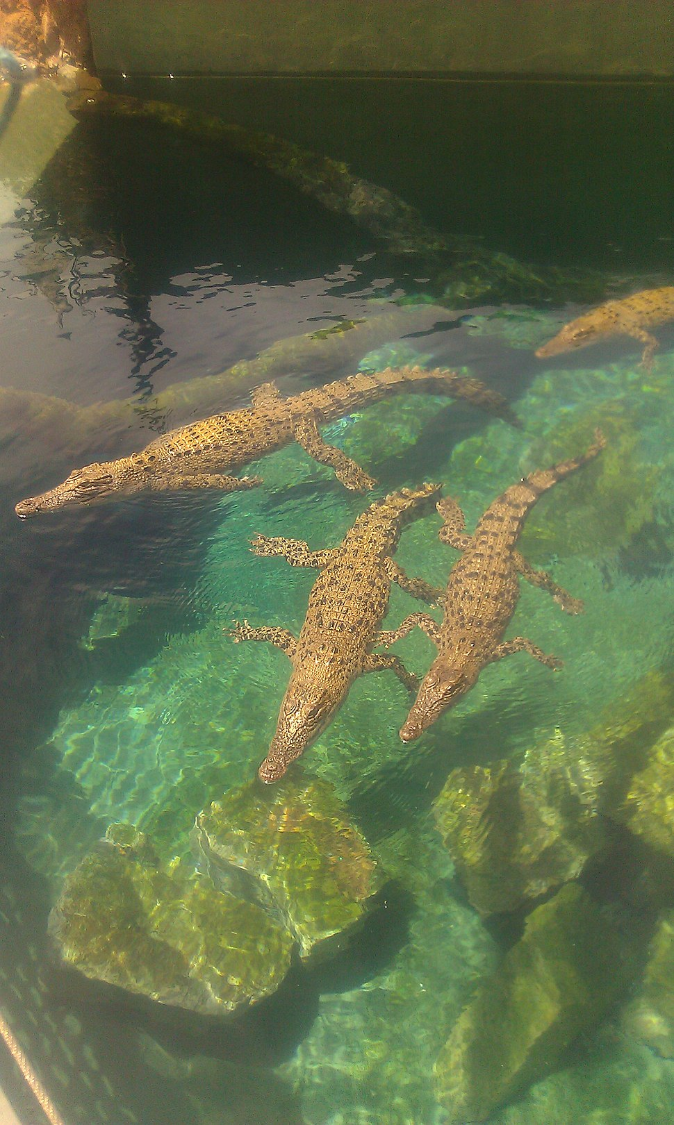 Young saltwater crocodiles at Crocosaurus Cove, Darwin, Australia, 02