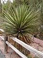 Yucca faxoniana.jpg
