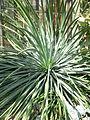Yucca whipplei.jpg
