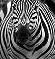 Zebra in black and white.jpg
