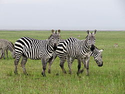 Zebras in Lake Nakuru National Park.JPG