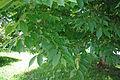 Zelkova schneideriana foliage.jpg